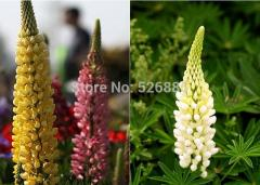 Free shipping yellow lupine, lupine seeds, flower