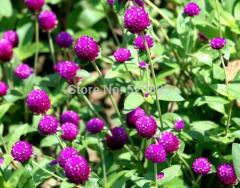 Free shipping Rosea hort Flower