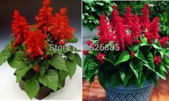 Tropical Sage seeds,  Salviasplendens,scarlet sage