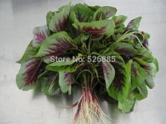 Red amaranth,Amaranthus mangostanus,edible