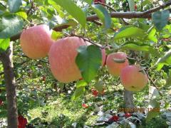 鲁中果园 富硒苹果果园