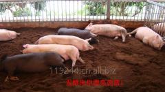 Pig litter fermentation bed fermentation bacteria/Pig Farm House odor remove Bacteria/