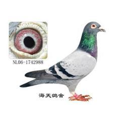 Turman de pico corto (palomas)
