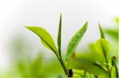 Organic Green Tea powder with tea Polyphenols
