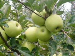 史密斯苹果,绿苹果