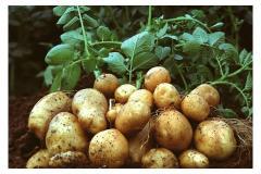2016 新鲜土豆