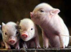 猪专用复合酶