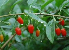 Wolfberry Extract for sale