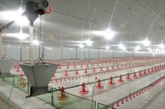 Automatic broiler feeding and drinking system