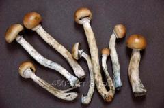 Available mushroom