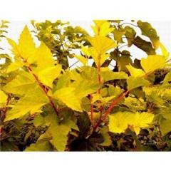 金叶槭种苗