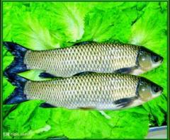 三安超有机草鱼
