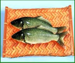 三安超有机鲤鱼