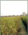 垦丰188水稻