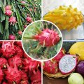 Yellow Pitaya red Pitaya (Strawberry Pear) Hylocereus Undatus Cactus Seeds bonsai 100 particles / bag