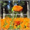 Marigold oleoresin lutein marigold extract