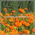 Marigold Oleoresin(marigold flower extract)