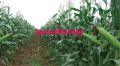 Herbicide: Isoxaflutole