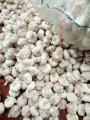 中国普白大蒜