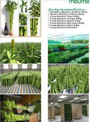 Dracaena sanderiana (Lucky Bamboo aquatic plants),